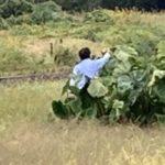 【悪質】撮り鉄がSLやまぐち撮影のために畑を破壊 犯人「本当は茎から切りたかった」